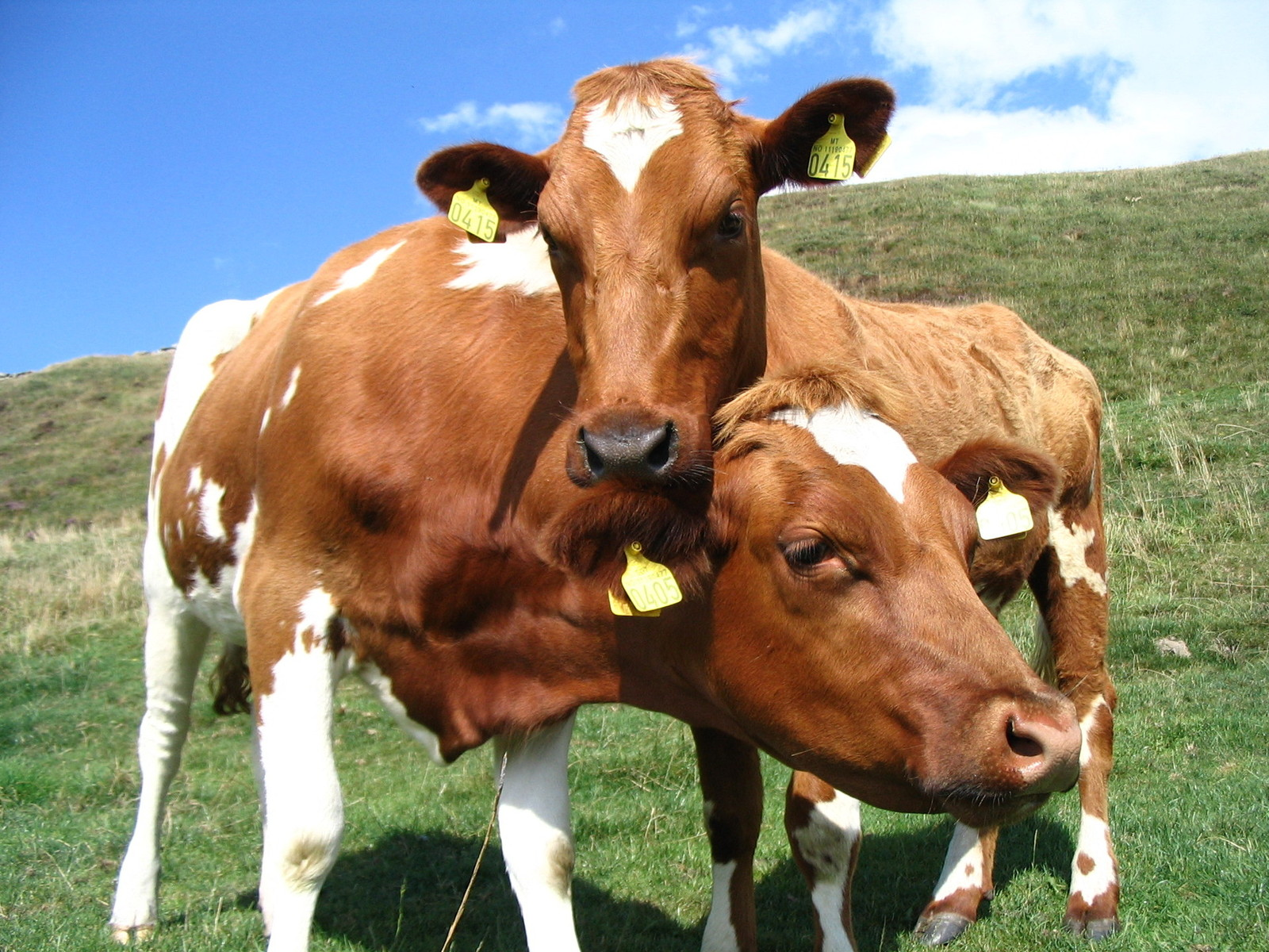 Племенные заводы и репродукторы Пермского края предлагают молодняк крупного рогатого скота