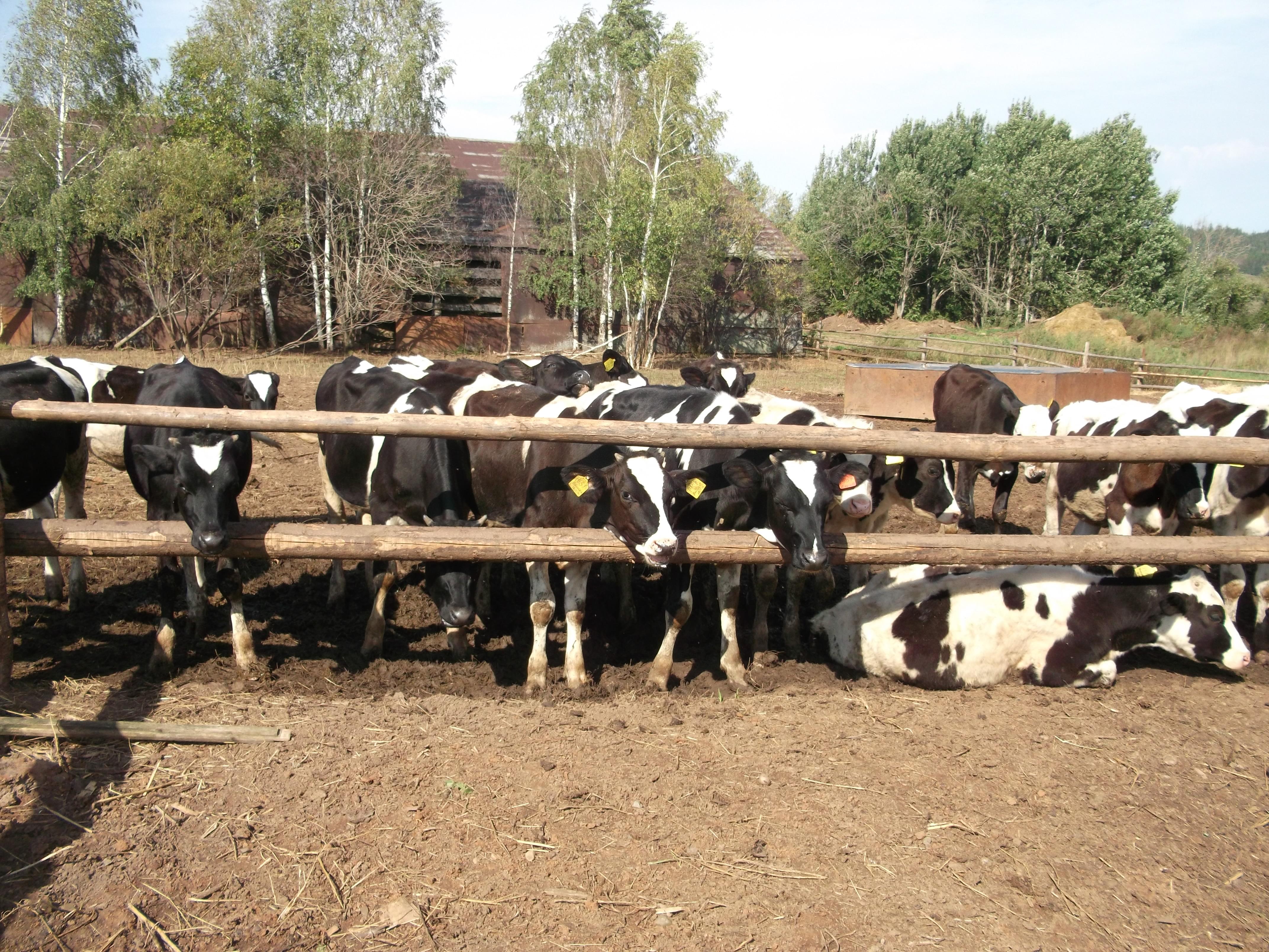 Племенной молодняк крупного рогатого скота для реализации